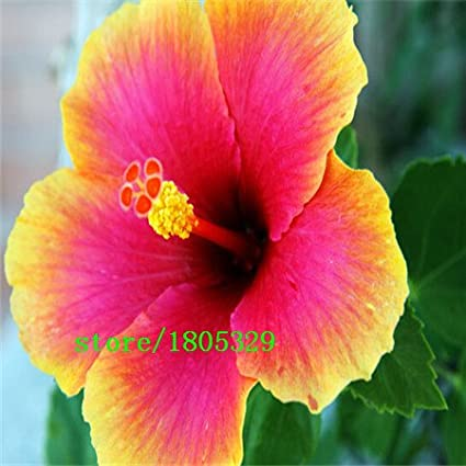 Amazoncom 100 Giant Hibiscus Flower Seeds Hardy Mix Color Diy