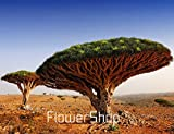 DIY Home Garden Plant 10 Seeds Canary Island Dragon Blood Tree Dracaena Draco Showy, Exotic, Rare,#E825LI