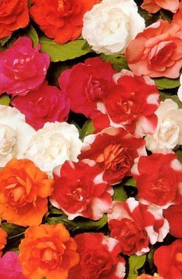 Double Carousel Impatiens 20 Seeds - Annual