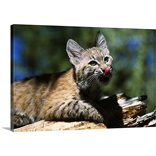 Premium Thick-Wrap Canvas Wall Art Print Entitled Bobcat Kitten Licking Nose 18