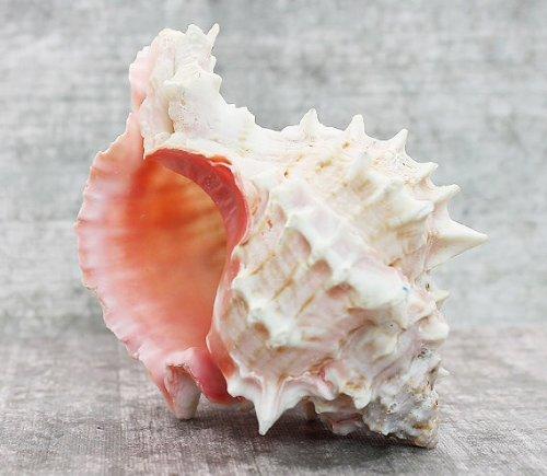 "Pink Murex Seashell 4"" | 1 pc."