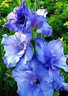 Amazon gladiolus bulb 10 pack white clouds snow white 10 gladiolus blue color flower bulb perennials summer plant mightylinksfo