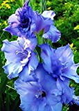 10 Gladiolus Blue Color Flower Bulb Perennials Summer Plant