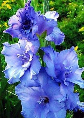 Amazoncom 10 Gladiolus Blue Color Flower Bulb Perennials Summer