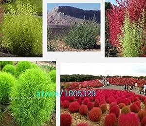 Vendedores calientes 100pcs Semillas Kochia scoparia, Verano Cypress super fácil de cultivar semillas de césped del paisaje de Plantas de jardín