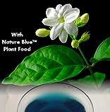 "9GreenBox - Jasmine Maid of Orleans Plant - 4"" Pot"