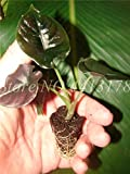 AGROBITS 2018 New Garden Alocasia Macrorrhiza Plants of Flowers Bonsai Giant Elephant Ear Taro Dishlia Flower Garden Plants 50 Pcs/Pack