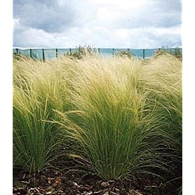 Ornamental Grass Seed - Stipa Tenuissima Pony Tails Seeds : Garden & Outdoor