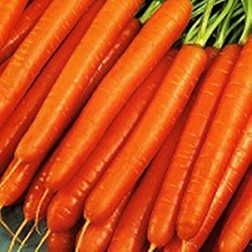 NIKITOVKASeeds - Carrot Nantes - 2400 Seeds - Organically Grown - NON GMO