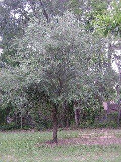 Bob Wells Nursery Live Tree product image
