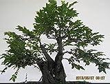 10 Seeds ADENANTHERA pavonina Red sandalwood tree by Perception of life (2)