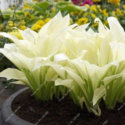 Review Exotic Hosta Plant Seed