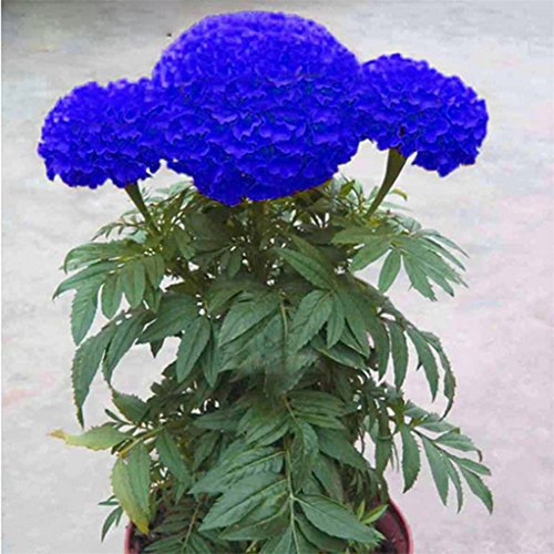 super1798 200 Pcs Blue Marigold Seeds Bonsai Chrysanthemum Flower Garden Plant