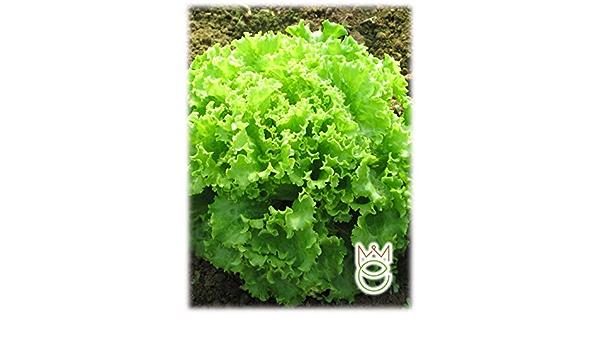 Lechuga de hoja rizada verde Lactuca sativa Semillas Semillas ...