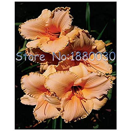 Amazoncom Plants Hibiscus Flower Seeds Carnation Unique American