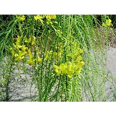 20 Jerusalem Thorn Seeds #RDR02 : Garden & Outdoor