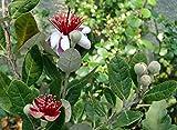 Hirts: House Plant Liner Farms feijoa sellowiana