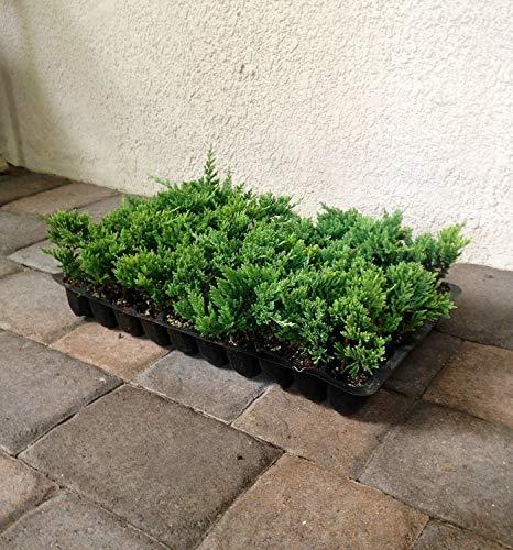 Blue Rug Juniper - 240 Live Plants - Juniperus Horizontalis - Cold Hardy Evergreen Groundcover