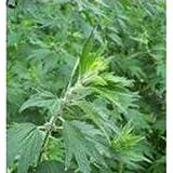 Herb Seeds - Motherwort - 1000 Seeds