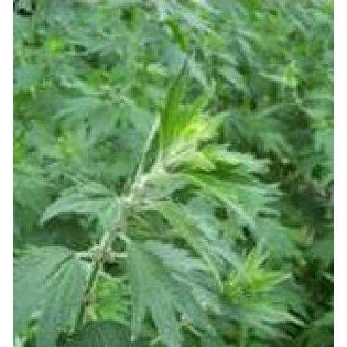Discount Herb Seeds - Motherwort - 1000 Seeds free shipping