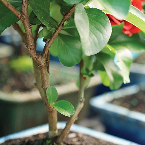 Brussel's Live Japanese Red Quince Outdoor Bonsai Tree - 3 Years Old; 10'' to 12'' Tall with Decorative Container by Brussel's Bonsai (Image #2)