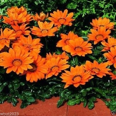 Gazania Kiss (Gazania Seeds - Kiss Orange - Large round, deep red flowers)