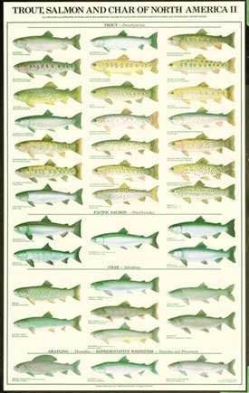 - Trout, Salmon and Char Females Fish Poster and Identification Chart