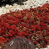 Outsidepride Sedum Spurium Coccineum Dragon's Blood Seeds - 5000 Seeds