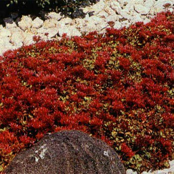 Amazon sedum creeping reddragons blood stonecrop 50 sedum creeping reddragons blood quotstonecropquot 50 perennial ground cover seeds mightylinksfo