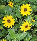 PlantVine Helianthus debilis, Dune Sunflower, Beach Sunflower - Medium x 4-6 Inch Pot (1 Gallon), 4 Pack, Live Plant