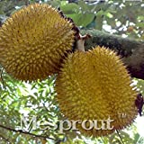 WANCHEN Hot Sale ! 5pcs A Lot Rare Durian Trees Seeds Delicious King of Fruit Seeds Giant Outdoor Rare Bonsai Plants