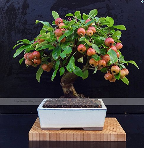 20 Seeds Mini Apple Fruit Bonsai Tree Seeds