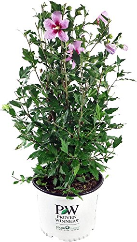 Proven Winners - Hibiscus syriacus Orchid Satin (Rose of Sharon) Shrub, pink flowers with dark red center, #3 - Size Container