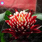 11.11 Big Promotion!50 pcs/lot rare colorful Torch flower seeds guzmania Poker-plant bonsai garden&home Kniphofia plant 1