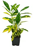 """Croton 'Gold Dust' (Codiaeum variegatum) - 3"""" Pot"""