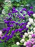Gomphrena Las Vegas Purple 250 seeds