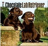 Labrador Retriever Puppies, Chocolate 2015 Square 12x12