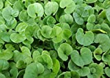 Dichondra Repens Seeds - 1 Pound