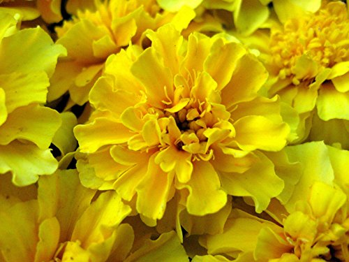 Flower Seeds - 100 Seeds of Yellow Marigold Seeds French Marigolds Heirloom Seeds Easy to Grow