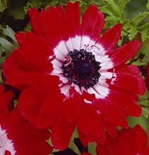Anemone Giant the Governor (4) Double Red & White Flowering Bulbs - Sale