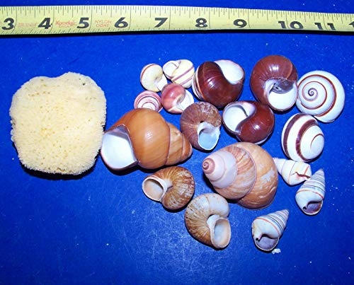 - OutletBestSelling Polished Sea Shells \ Beach Shells 10 - Assorted Land Snail Shells Hermit Crab with Moisture Sponge Crafts Wow!