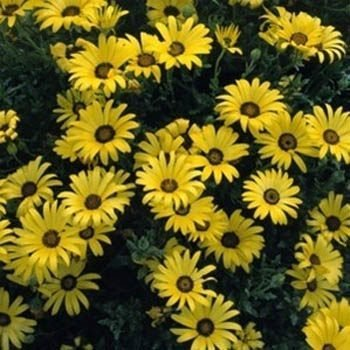 Outsidepride African Daisy Yellow - 1000 Seeds
