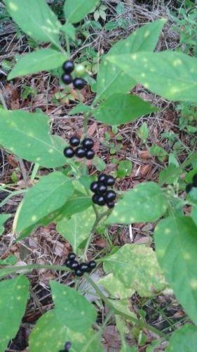 Amazon.com : Garden Huckleberry (100 seeds) fresh this season\'s ...