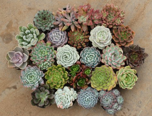 200 Assorted Succulents in 2.5'' Round Containers Ideal for Weddings & Gifts Gifts by jiimz Succulents