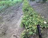 4 American Hornbeam (Carpinus caroliniana) 1-2'