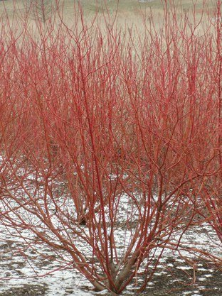 (2 Gallon) ''Red Twig'' Dogwood, Coral Red Bark, Great for Erosion Prevention and Mass Plantings Have A Stunning Winter Visual Impact, Year Round Interest,
