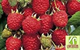 Liveseeds - Rubus Idaeus - European Raspberry Seeds-Delicious Raspberries.20 Finest Seeds