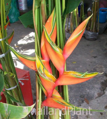 1 Rhizome HELICONIA BIHAI LOBSTER CLAW THREE Plant