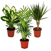 Indoor Plant Mix II Set of 3, 1x Dieffenbachia, 1x Chamaedorea (Mountain Palm) 1x Dracena Marginata (Dragon Tree), 10…