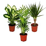 Indoor plant mix II 3rd sets, 1x Dieffenbachia, 1x Chamaedorea (mountain palm) 1x Dracena marginata (dragon's tree), 10-12cm pots, green plants set